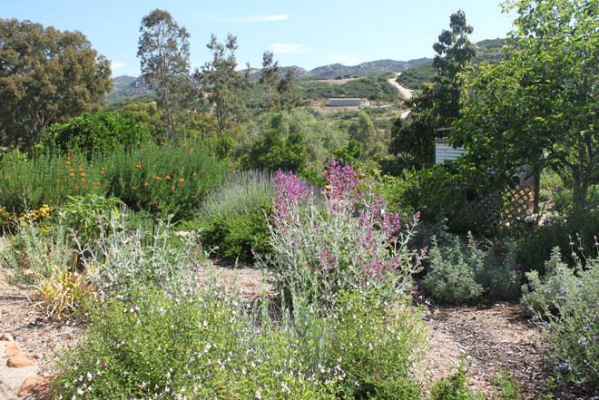 PLANTS THAT WORK: In Vanessa Rusczyk's garden, pinkish purple Canary Island sage blooms at center while Cleveland sage, native to southern California, grows at far right. Photo by Vanessa Rusczyk