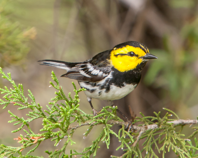 YARD BIRD: The Webers photographed this Golden-cheeked Warbler at Woody Hollow. Photo by Jim and Lynne Weber