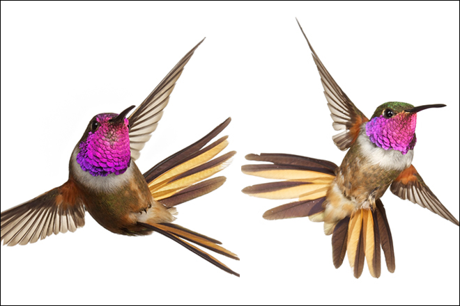 These hummingbirds, both males, represent the two recognized subspecies of Bahama Woodstar, Calliphlox evelynae: the southern C. e. lyrura on the left and the northern C. e. evelynae on the right. New research suggests they should be split. Key differences are male crown color — magenta in lyrura and green in evelynae — and the shape of the outer tail feathers. Photos by Anand Varma