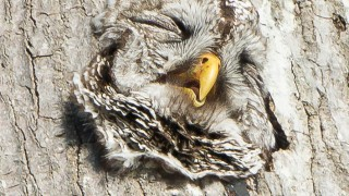 Barred-Owls-168-of-382-1