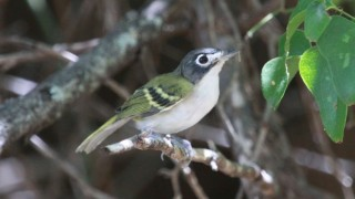 Black-capped Vireo at Wichita Mountains Wlildlife Refuge, August 25, 2014, by gman79.
