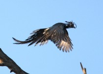 Black-throated-Magpie-Jay_6859
