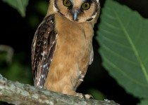 Buff-fronted-Owl-6RCS