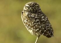 Burrowing-Owl-67RCScr