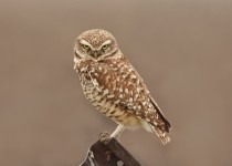 Burrowing-Owl-the-glare_edited-2