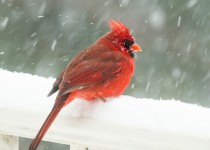 Chilly Cardinal