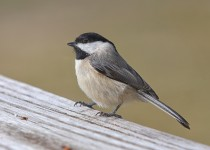 Carolina-Chickadee