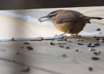 Carolina-Wren_DSC4308_cropped_WEB