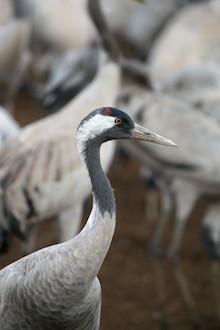 Common Crane at Hula Nature Preserve, Israel, by Eyal Kaplan.