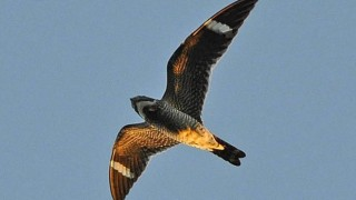 Common Nighthawk over Wausau, Wisconsin, August 22, 2013, by sfisher.