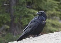 Common-Raven-2