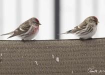Common-redpolls-couple-web