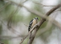 Downy-Woodpecker_DSC46831