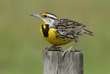 Eastern Meadowlark on Withlacoochee State Trail, north of Tampa, Florida, by wahoowoman.