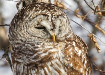 Extreme-Close-up-Barred-Owl
