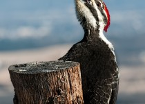 Hungry Female Pileated Woodpecker