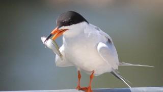Forsters-Tern-Santee-Lakes_5731