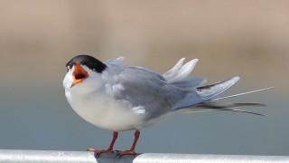 Forsters-Tern-Santee-Lakes_5734