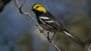 Golden-checked-Warbler