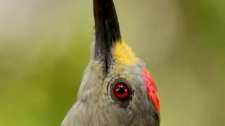 Golden-fronted-Woodpecker2