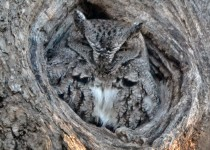 Grey-Screech-owl_edited-1