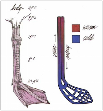 FROM COLD TO WARM: Two views of a gull's leg show how heat is exchanged between blood vessels. Art by Michael McNelly (after Ricklefs. 1990. Ecology. W.H. Freeman, New York).