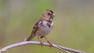 Harris-Sparrow