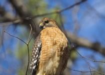 Hawk_Red-Shouldered_DSC4225