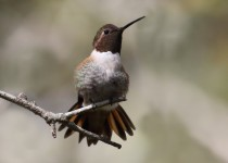 Hummingbird-Tail-Fan