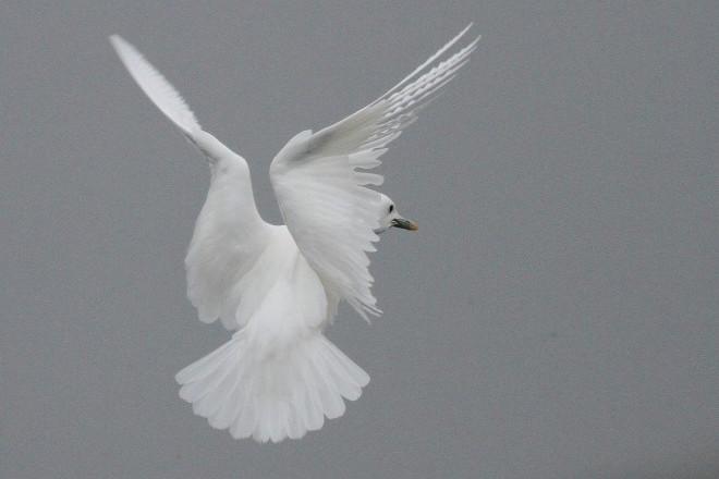 Ivory Gull_660x440