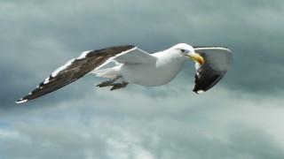 Kelp Gull_660x440
