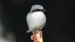 Loggerhead-Shrike10