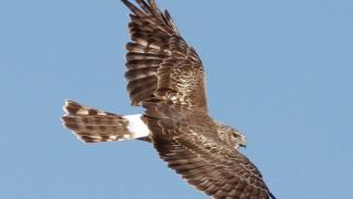 Northern-Harrier