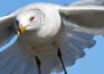 Ring-billed-gull-closeup