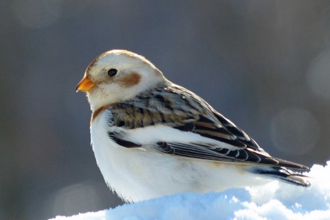 Snow Bunting_660x440