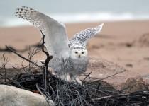 Snowy-Owl1