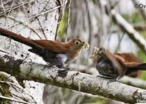 Squirrel-Cuckoo40-1RCScr