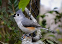 Titmouse-1-of-1Iphone