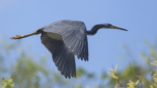 Tricolored Heron ©2015 Shannon Bailey