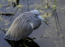 Tricolord-Heron76RCScr