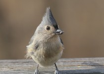 Tufted-Titmouse1
