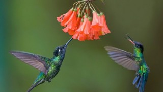 Vargas-Hummingbirds-660x440