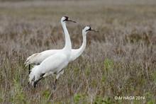 Whooping Cranes at Aransas National Wildlife Refuge, Texas, by mayhaga.