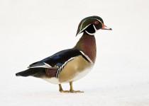 Wood-duck-drake-1