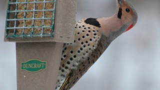 Yellow-shafted-Northern-Flicker
