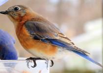 blue-bird1