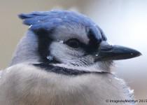 blue-jay-yard2editwtmksm