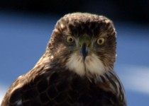 coopers-hawk-yard_edited-1