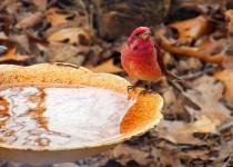 purple-finch-on-birdbath