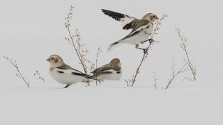 snow-bunting-larger-file